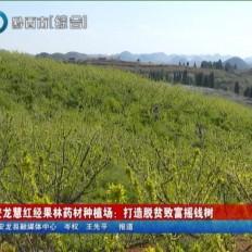 安龍慧紅經果林藥材種植場:打造脫貧致富搖錢樹
